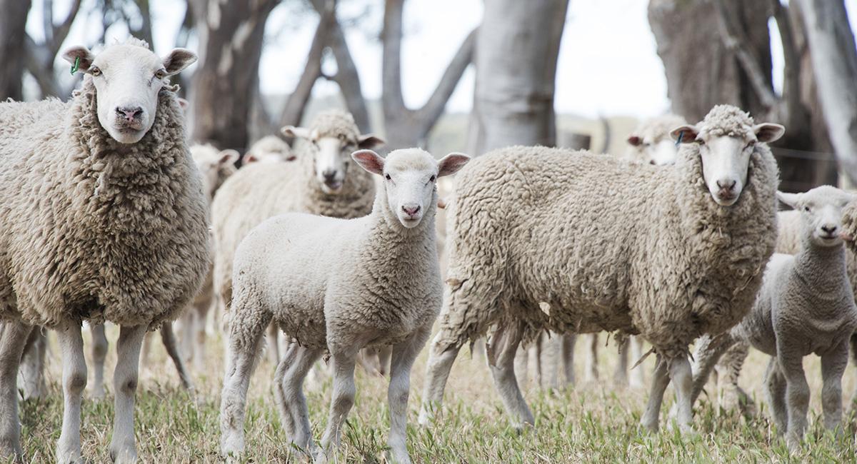 Wool Options (Cash Settled)